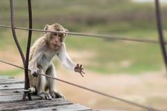 Hungriger Affe, das verletzte Tier, eine Fliege, um zu essen, hungern oder Überlebenskonzept fangend Lizenzfreie Stockfotos