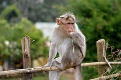 Hungriger Affe, der frische Karotte isst stockbild