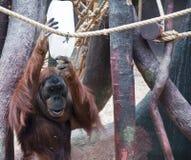 hungriger Affe in Prag-Zoo stockbild