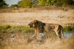 Hungriger afrikanischer Löwe Stockbild