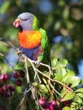 Hungriger australischer Regenbogen Lorikeet stockfoto