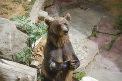 Hungriger Bär stockfotografie