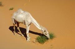 Hungriger Dromedary in der Wüste stockfotos