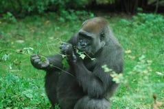 Hungriger Gorilla Eating Green Leaves Lizenzfreie Stockfotos