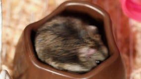 Hungriger Hamster essen Mais stock video footage