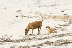Hungriger herumsuchender Hundwelpe, Sri Lanka Lizenzfreies Stockbild