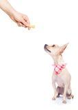 Hungriger Hund mit der Eigentümerhand Stockbild