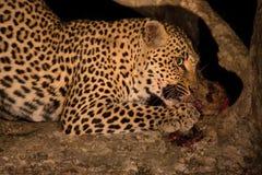 Hungriger Leopard essen totes Opfer im Baum nachts Stockfotos