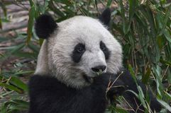Hungriger Panda Eating Lizenzfreies Stockbild