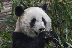 Hungriger Panda Eating Lizenzfreies Stockbild