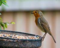 Hungriger Robin Stockbilder