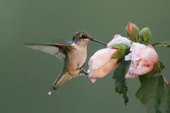 Hungriger Rubin-throated Kolibri Stockbilder