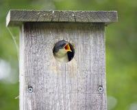 Hungriger Schätzchenvogel Stockfotografie