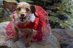 Hungriger schauender gemischter Zucht-kleiner Hund, der Lippen im roten Kleid leckt Stockfotos