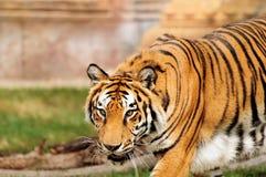 Hungriger Tiger Stockbild