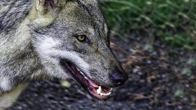 Hungriger weiblicher skandinavischer Wolf Stockbilder
