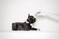 Hungriger Welpe der französischen Bulldogge stockfotos