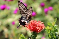 Hungriger Zeit Nektar des Schmetterlinges lizenzfreie stockfotografie