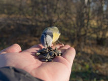 Hungriges bluetit Lizenzfreie Stockfotografie