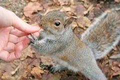 Hungriges Eichhörnchen Lizenzfreie Stockfotos