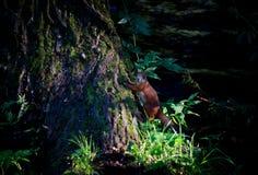 Hungriges Eichhörnchen Stockfotografie