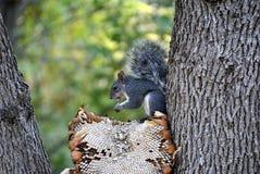 Hungriges Eichhörnchen Stockfoto