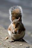 Hungriges Eichhörnchen in London Lizenzfreies Stockfoto