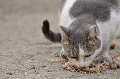 Hungriges Katzeessen Stockfotografie
