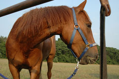 Hungriges Pferd Stockbilder