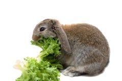 Hungriges Schätzchen-Kaninchen Stockbilder