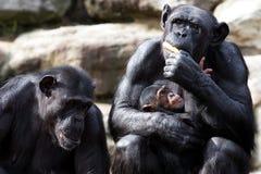 Hungrigt behandla som ett barn schimpansen Arkivfoto