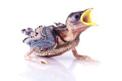 Hungrigt behandla som ett barn sparrowen royaltyfri fotografi
