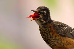 Hungry. Closeup of a juvenile American Robin eating a cherry against a blurred background Royalty Free Stock Photo