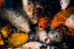 Hungry!. Large hungry koi fight for food Royalty Free Stock Photography