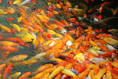 Hungry. Image of big mouthed hungry koi  fishes flocking and fighting for food Stock Photography