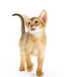 Hungry abyssinian cat Royalty Free Stock Image