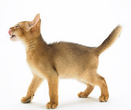 Hungry abyssinian cat Stock Image