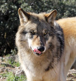 Hungry Alaskan Gray Wolf. An Alaskan Gray Wolf licks his chops, hoping to catch some lunch Royalty Free Stock Photography