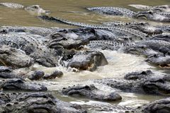 Hungry alligators Stock Image
