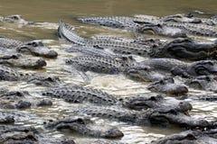 Hungry alligators Stock Photography