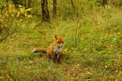 Hungry alone fox on the grass royalty free stock photography