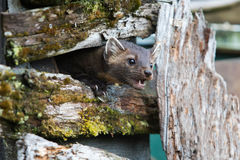 Hungry American Marten On Fence Stock Photography