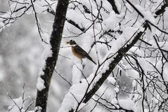 Hungry American robin. American robin with Bradford pear berry in it's mouth Royalty Free Stock Photos