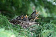 Hungry American Robin Chicks. A nest of American robin chicks looking for a feeding in a spruce tree in Littlefork, MN Royalty Free Stock Photo