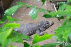 Hungry, angri crocodile. An hungry crocodile in its natural habitat royalty free stock image