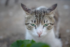 Hungry-Angry cat. This cat is waiting for sharing some food and his eye looks angry and hungry Royalty Free Stock Photography