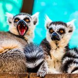 Hungry and angry lemurs Royalty Free Stock Images