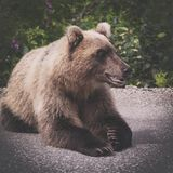 Hungry and angry wild Kamchatka brown bear lies and look away. stock photography