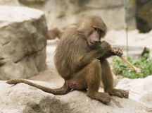 Hungry baboon Stock Photos