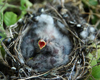 Hungry baby bird Royalty Free Stock Photography